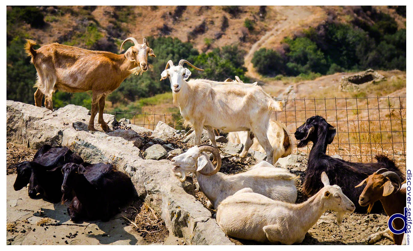 Goats in Serifos