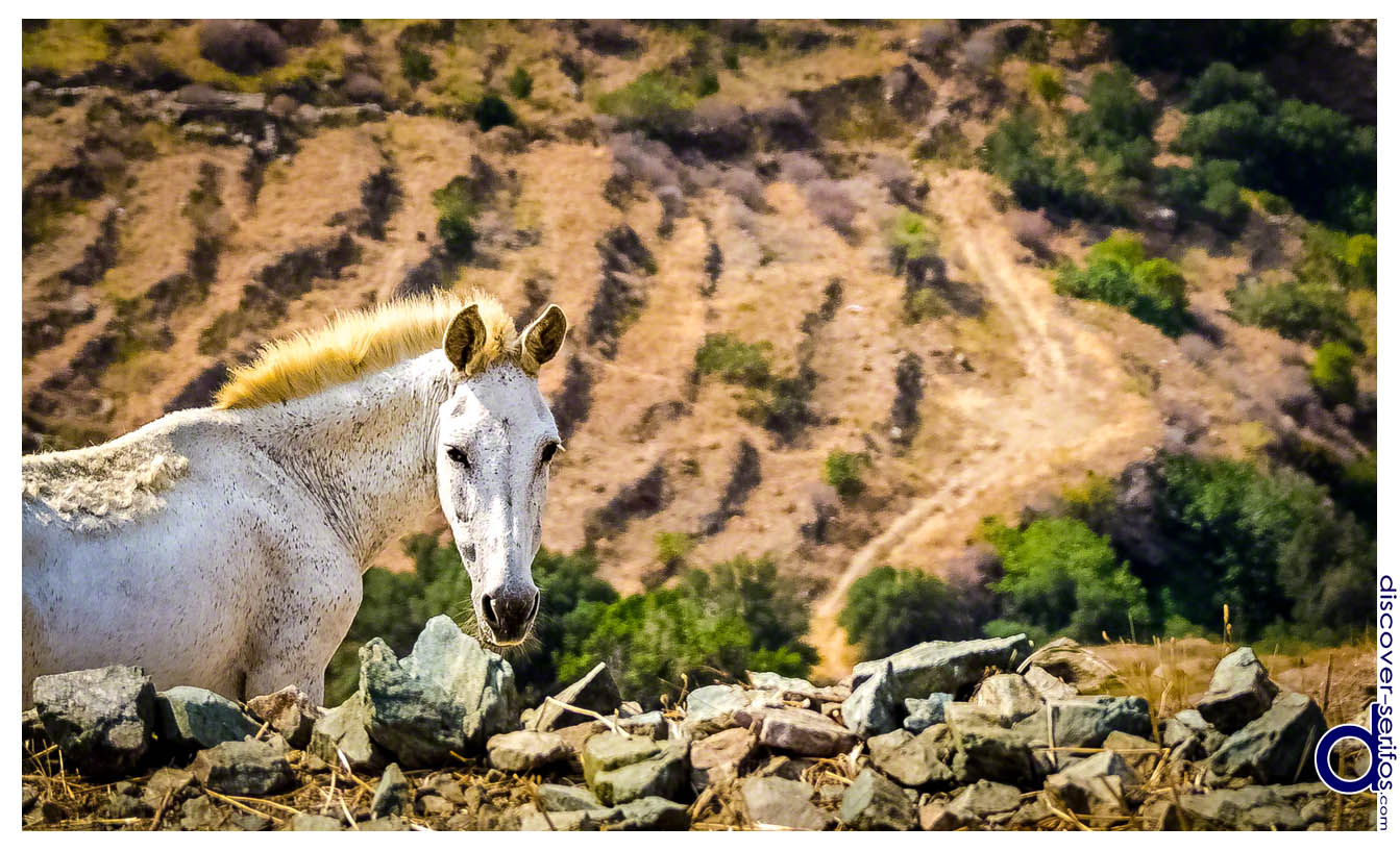 Horse in northern Serifos