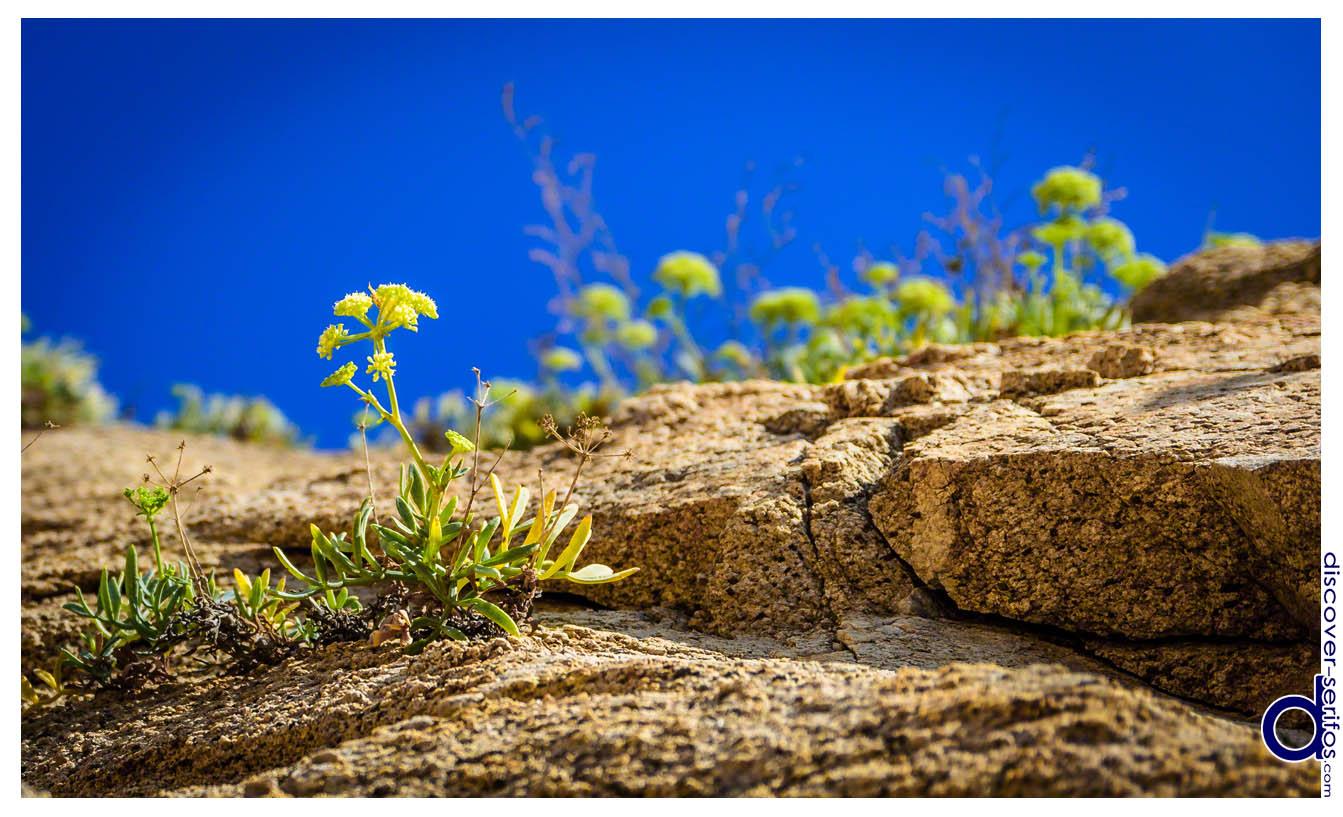 Άνθη και Βράχια στο Καλό Αμπέλι