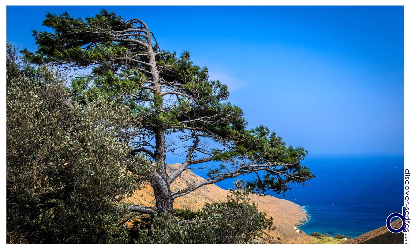 Δέντρο στον Καλλίτσο και η παραλία του Κένταρχου